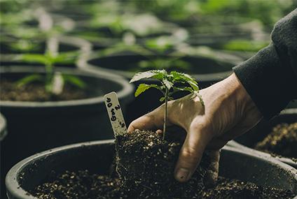 cannabis horticultural