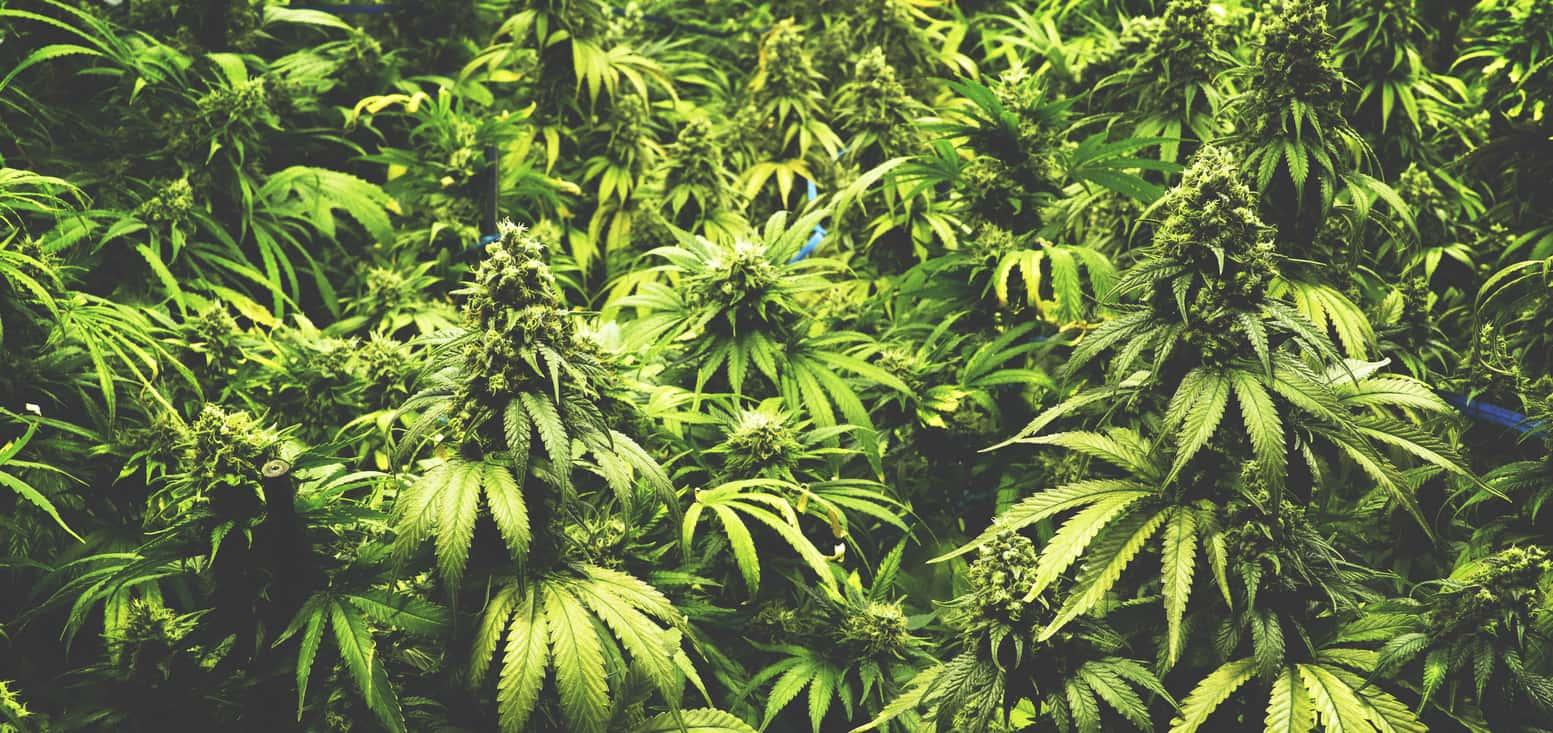 marijuana plants